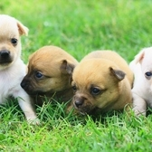 Adorable Chihuahua puppies!