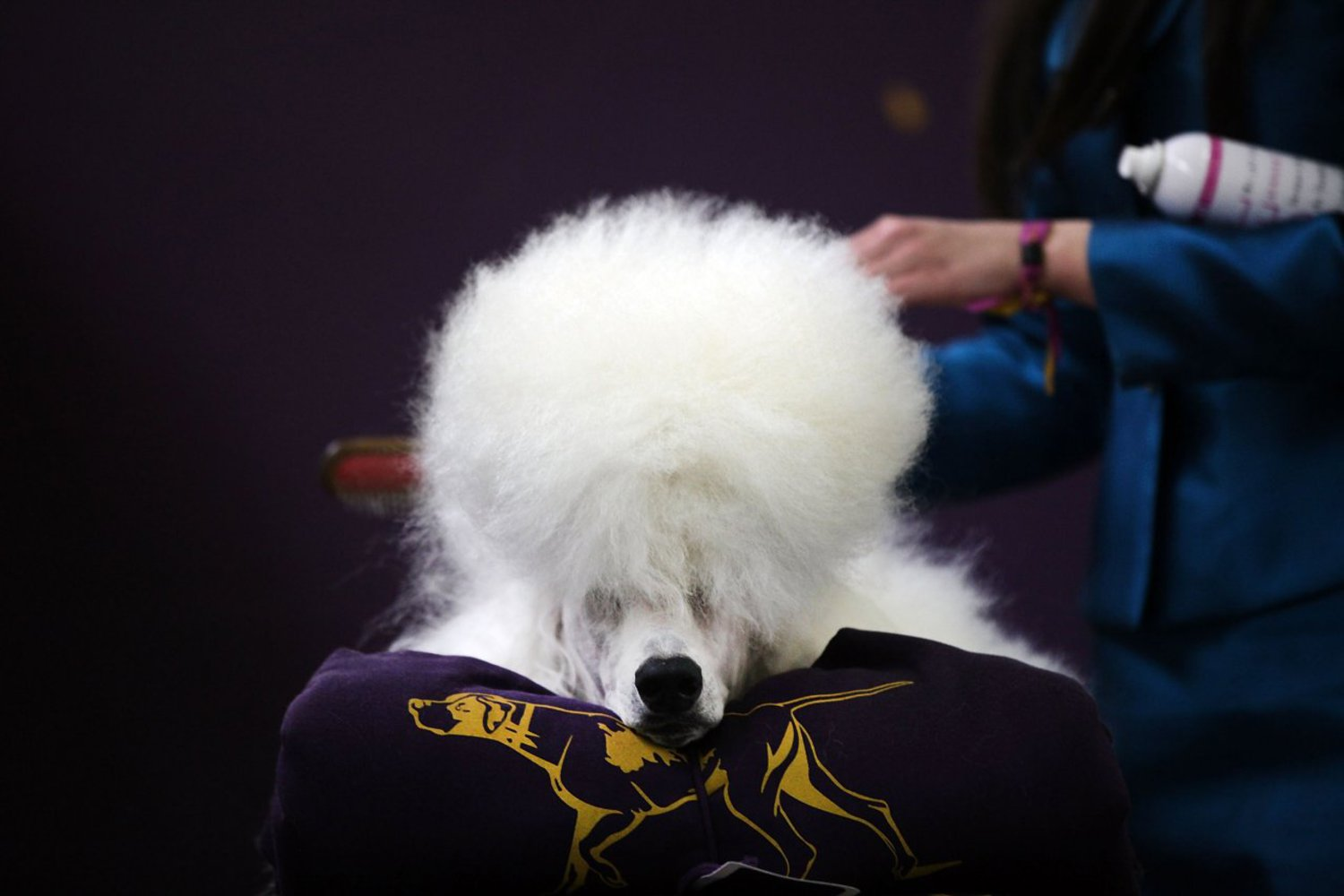 A standard poodle named Paris has his hair done at the Westminster show on February 16, 2015. The show is described as the second-longest continuously running sporting event in the United States. It included 192 dog breeds and drew nearly 3,000 global competitors.