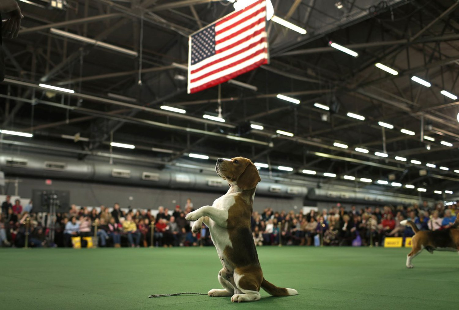 Thunder, a Beagle from Bangkok, Thailand, rises up on its hind legs in the ring during judging in the Hound Group at the Westminster show on February 16, 2015.