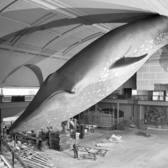 94-Foot Blue Whale Installation at the American Museum of Natural History, New York, New York, 1968