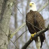 Recent photo of one of the bald eagles nesting in Staten Island