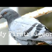 My First: Pigeon Taste Test