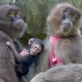 Gelada Baboon Baby | Bronx Zoo