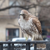 Red tailed Hawk (juvenile) | Tompkins Sq. Park