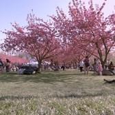 Cherry Blossoms at the Brooklyn Botanic Garden