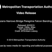 MTA Video Release: Verrazano-Narrows Bridge Peregrine Falcon Banding - 6/2/2015