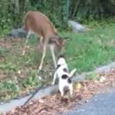 Deer and dog make a cute connection on Staten Island