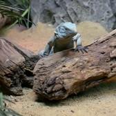 Blue Iguana Exhibit   Bronx Zoo
