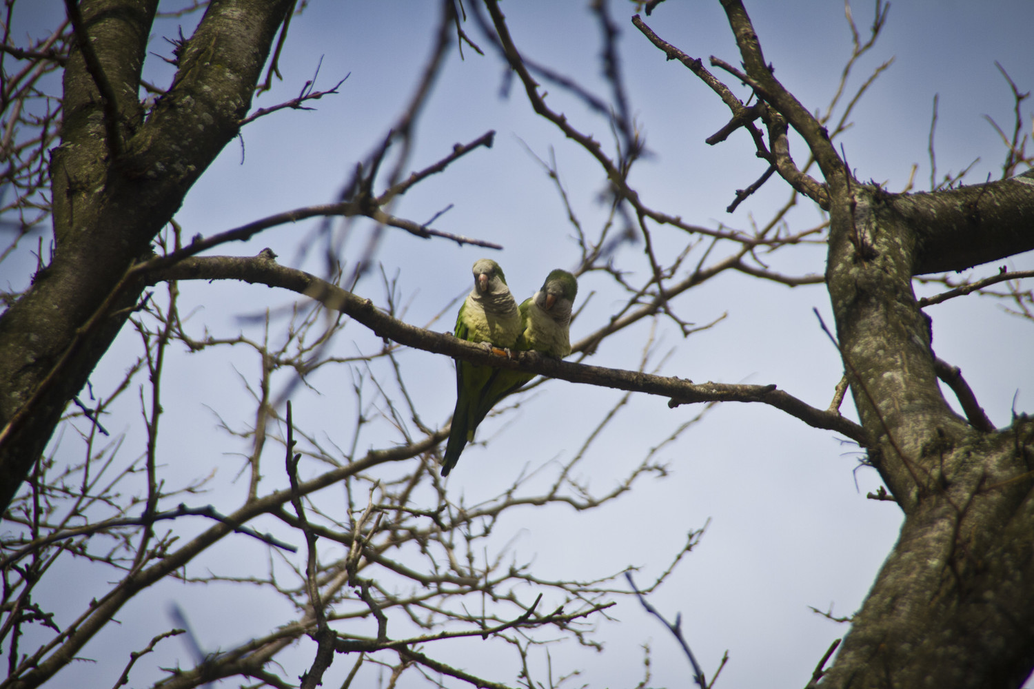 Monk parakeets observed in their adoptative habitat of Flatbush, Brooklyn.
