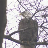 Bald Eagle Spotted In Upper West Side Park