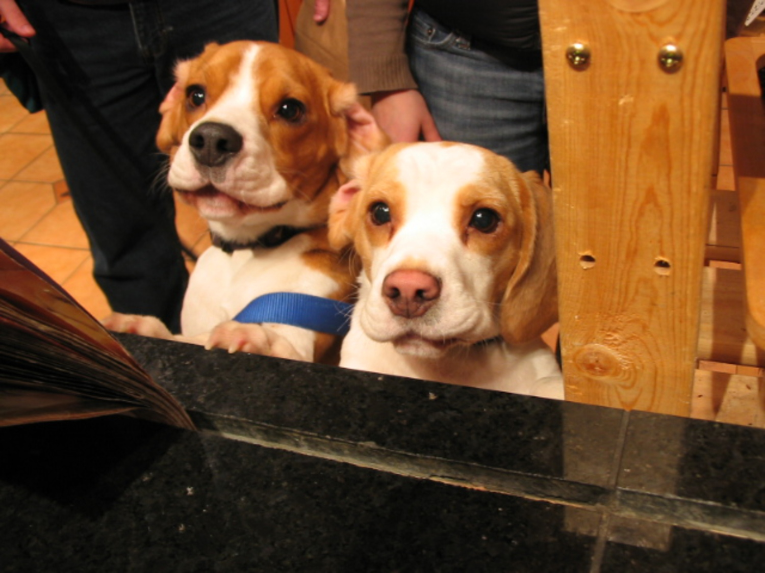 Beagle puppies at the counter | From January. These two puppies came for Sunday brunch at the Three Dog Bakery.