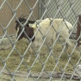 Pair Of Goats Spotted Roaming Brooklyn Subway Tracks