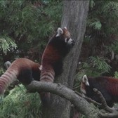 Red Pandas Debut At Prospect Park Zoo