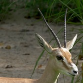 Slender-horned Gazelles on Exhibit | Bronx Zoo
