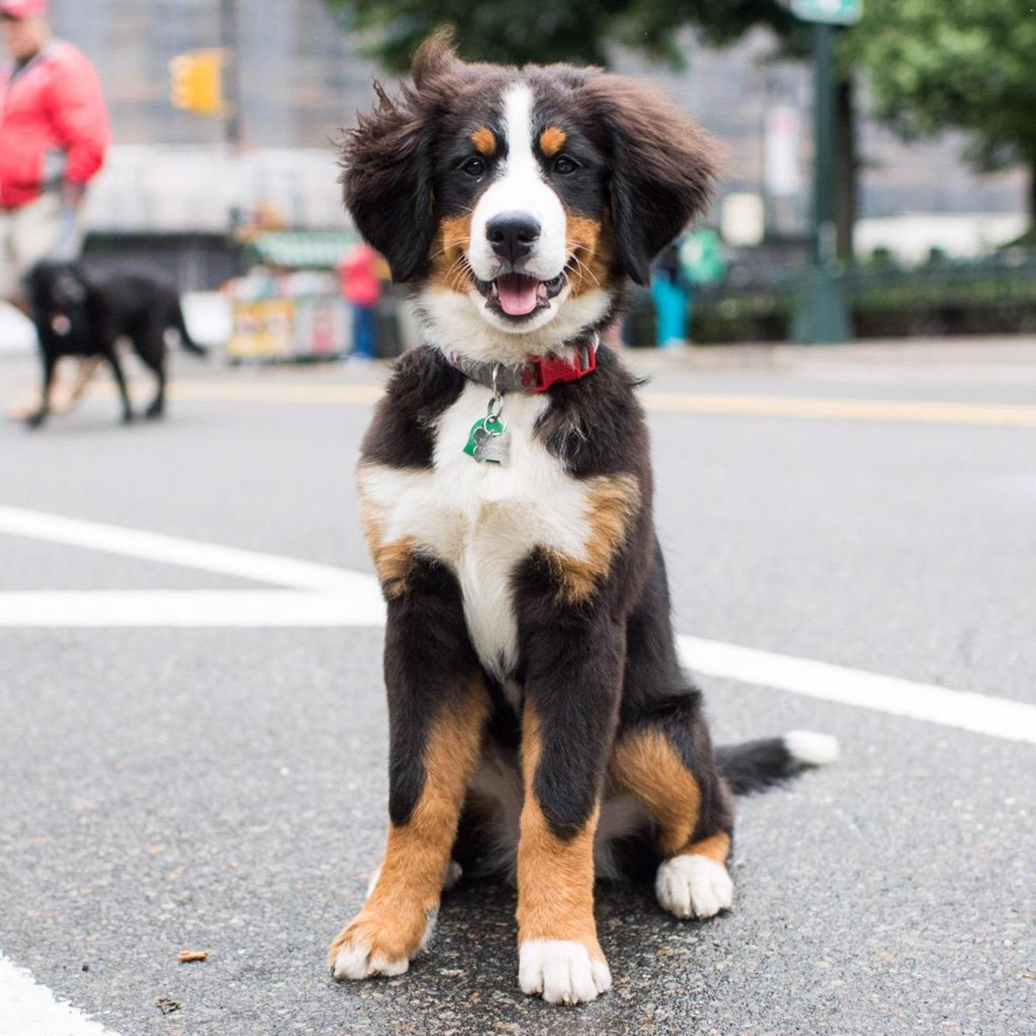 "Bleecker, Bernese Mountain Dog (4 m/o), Central Park, New York, NY • ""They don't stay small for very long."" http://t.co/Jd88VRsVGb"
