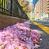 Fallen flowers along Park Avenue, Midtown, Manhattan