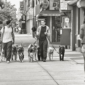 Dog Walkers, NYC