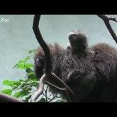 Titi Monkey Baby | Bronx Zoo