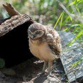 This young owlet is one of three recently hatched at the Wildlife Conservation Society's Queens Zoo