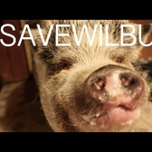 #SaveWilbur the pet pig: Spread the message to keep him with his family