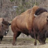 Bronx Zoo New Bison on Exhibit 2017
