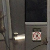 It's showtime for this pole-dancing subway rat