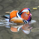 It's back: NYC's rare Mandarin duck makes grand return to Central Park