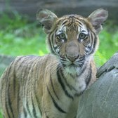 Bronx Zoo Malayan Tiger Cubs on Exhibit