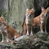Adorable! Bronx Zoo debuts pack of endandgered fox-like wild dogs