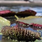 Planting Victoria amazonica