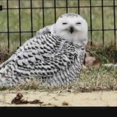 Extremely Rare Snowy Owl Spotted In Central Park
