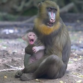 Mandrill Baby in Congo Gorilla Forest | Bronx Zoo
