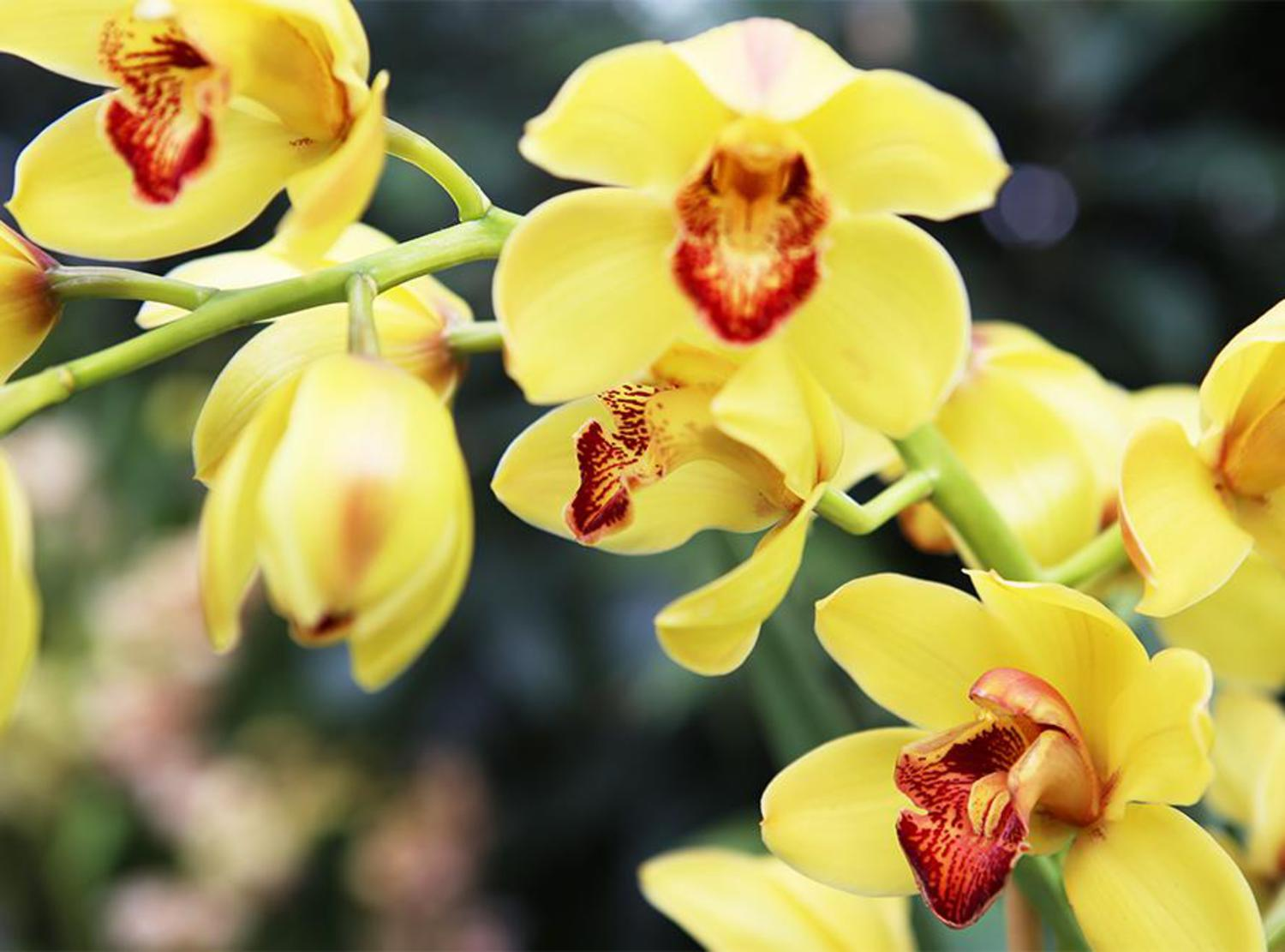 This is the Cymbidium, otherwise called Golden Boy.