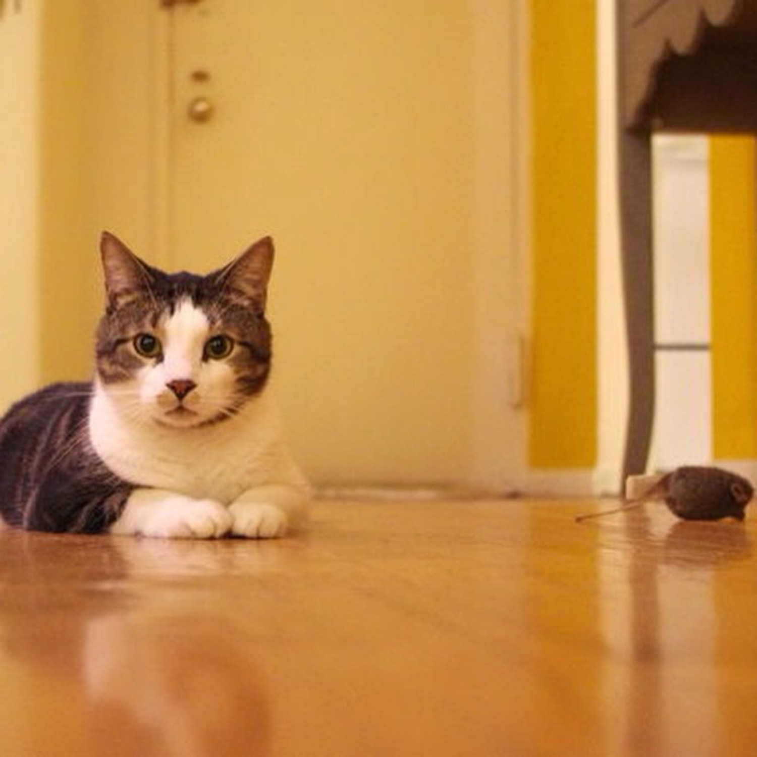 """""""I heard this mouse on the floor and I was like 'Not in my house!' then I killed it. Pretty quick too."""" """"That mouse there? That's a toy."""" """"No it's not, it's a dead mouse. It's been dead for months."""" """"Ok."""" - Tanooki, Queens  #felinesofnewyork #cats #catsofinstagram #humansofnewyork"""