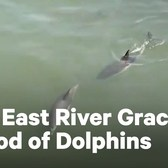 Dolphins Spotted in NYC East River