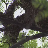 Large Swarm Of Bees In A Tree In Bronx Neighborhood