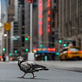 Pigeon, Midtown, Manhattan