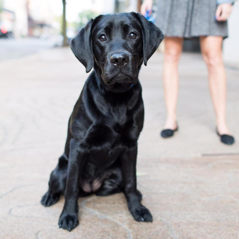Emma, Labrador Retriever (8 m/o), Bond & Lafayette St., New York, NY http://t.co/SdqoE5GBEV