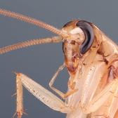Cockroach (Barata) | Empilhamento de foco de uma barata doméstica medindo aproximadamente 2cm. Essa foto é resultado do empilhamento de 42 exposições combinadas pelo programa Combine ZP.