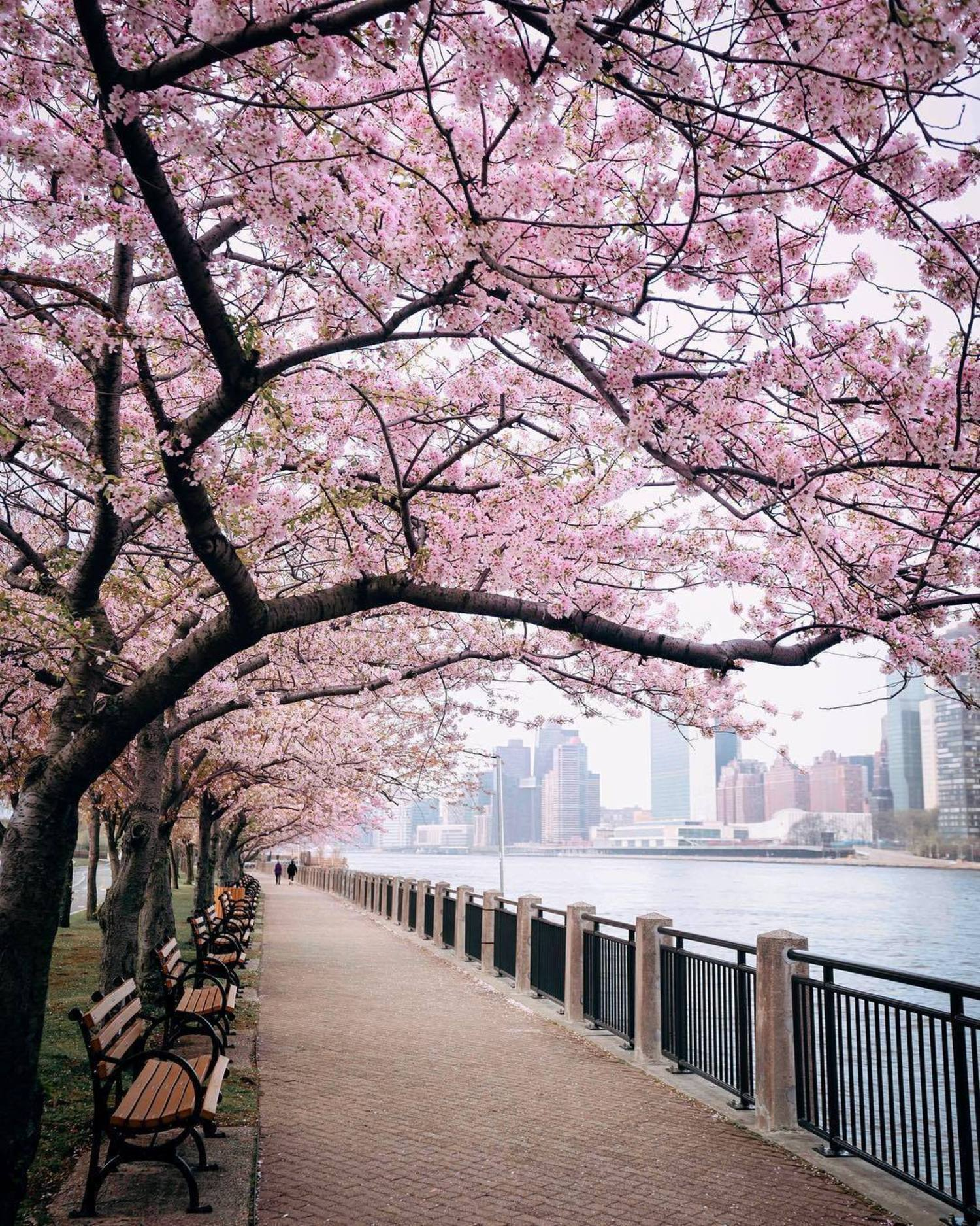 Cherry Blossoms on Roosevelt Island, New York