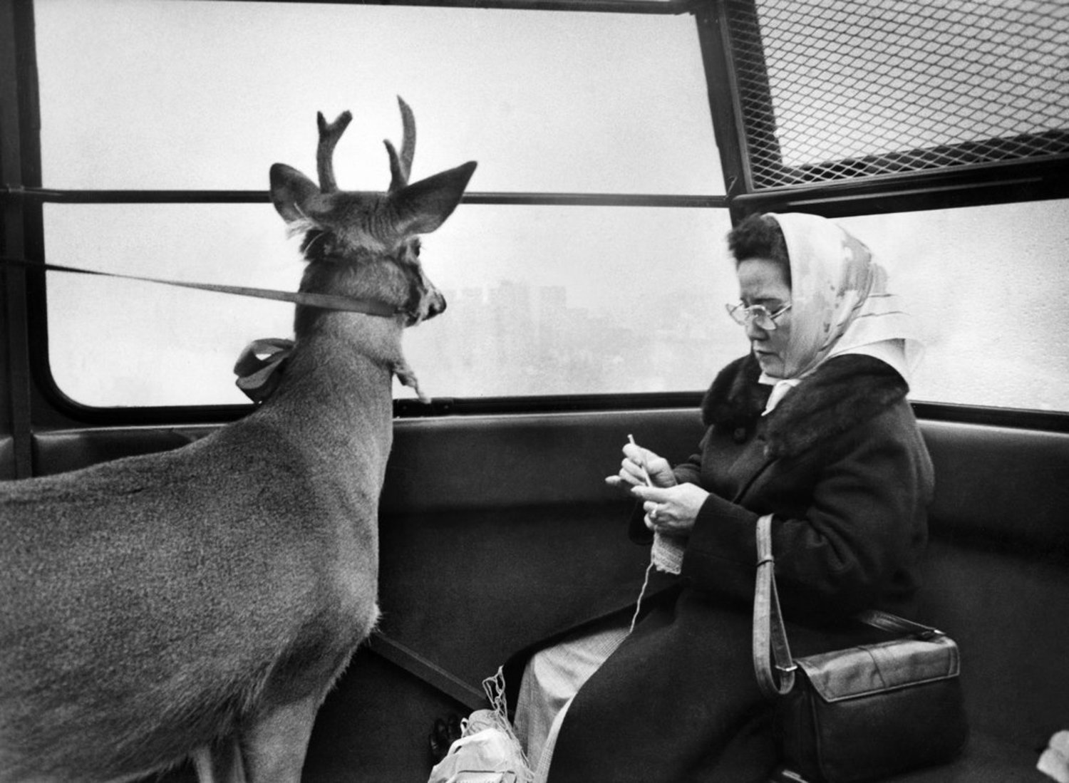 Dec. 3, 1977: The view from the Roosevelt Island tram was enchanting for one passenger, ho-hum for another. Also ho-hum: that the other passenger happened to be a reindeer.