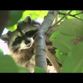 WildlifeNYC: Tips for Coexisting with Raccoons