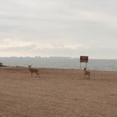 Deer frolic at Great Kills Beach on the first day of summer