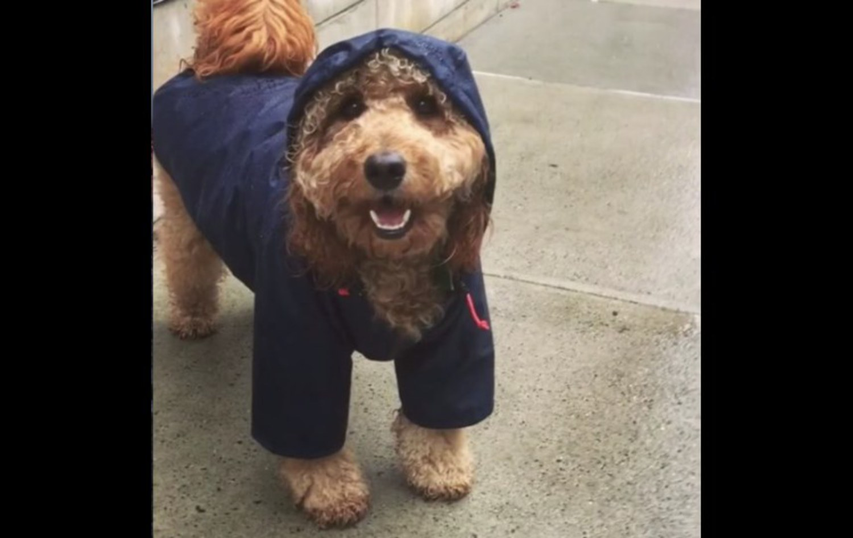 Celeb dog Samson the dood rockin' the stylish rain gear in Brooklyn
