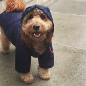 Celeb dog Samson the dood rockin' the stylish rain gear in Brooklyn