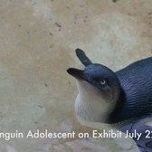 Little Penguin Chick | Bronx Zoo