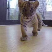 Bronx Zoo Malayan Tiger Cubs