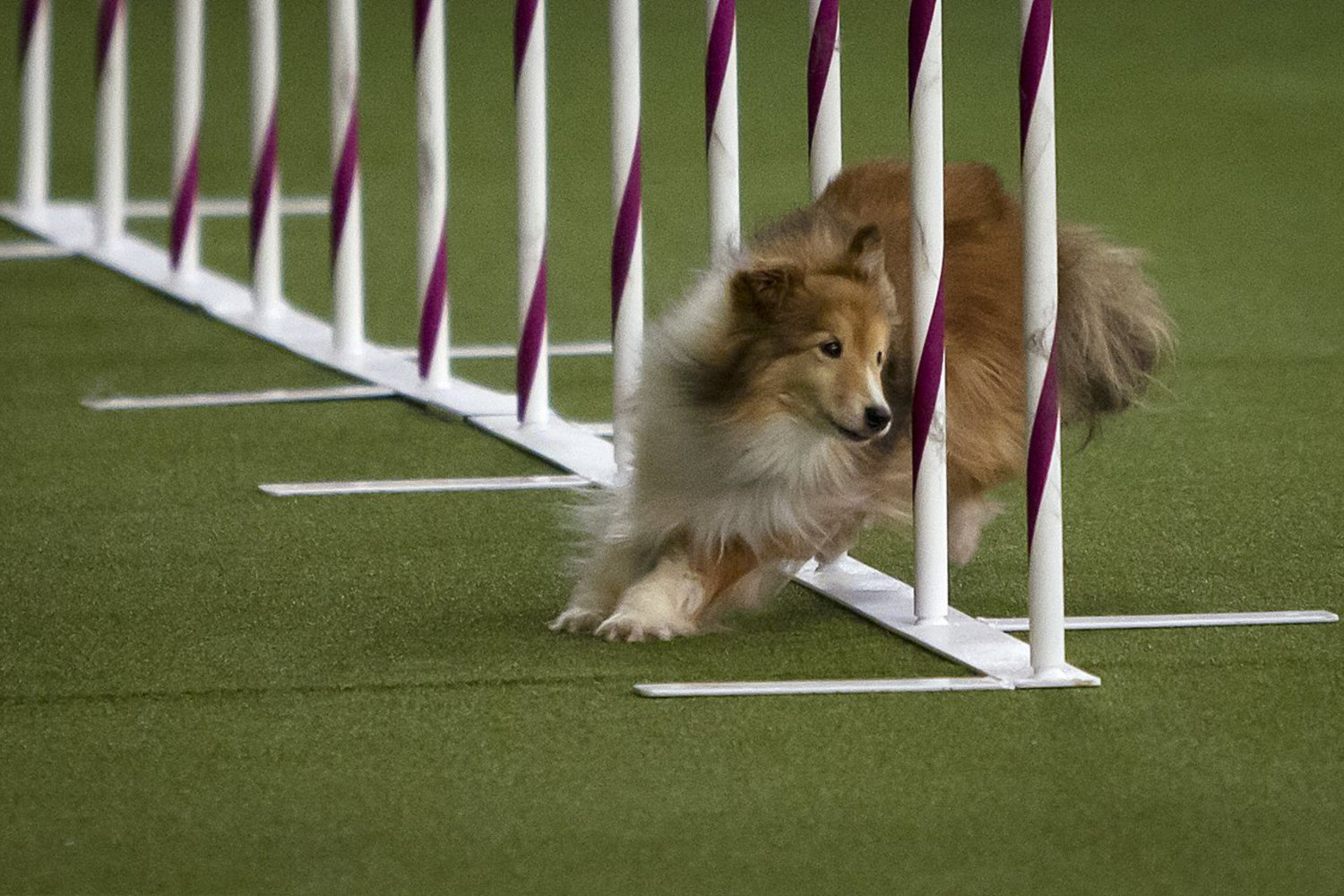A dog competes in a Westminster show event on February 14, 2015.