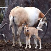 Felipe, a baby Scimitar-Horned Oryx calf born at the Staten Island Zoo. The animals have been extinct in the wild for some 30 years; they were hunted for their large horns, meat and hides.