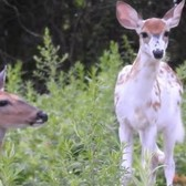 White Fawn Born in New York City Brings Hope to the Community | National Geographic